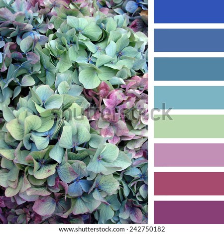 A background of hydrangea flowers, in a colour palette with complimentary colour swatches - stock photo
