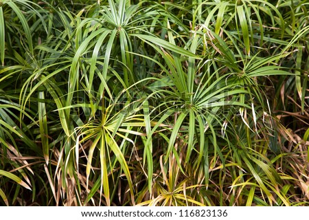 A background of papyrus plants. Papyrus was used by the ancient Egyptians to make a form of paper, which is still produced today. - stock photo