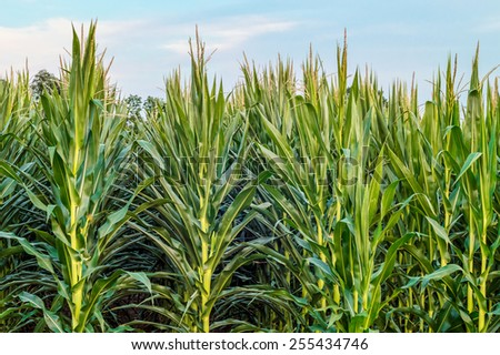 A background photo of green cornstalks in a cornfield in Central New Jersey. - stock photo