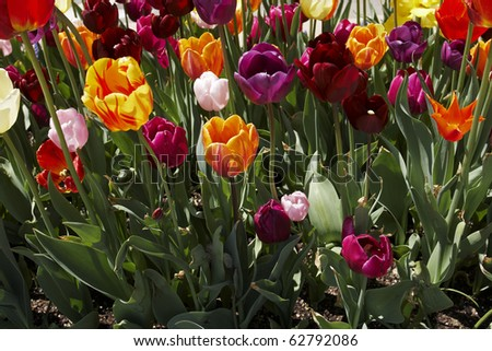 A backlit bed of multi colored tulips - stock photo