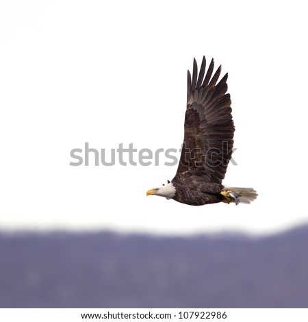 A Bald Eagle flying with a freshly caught fish in its' talons. - stock photo