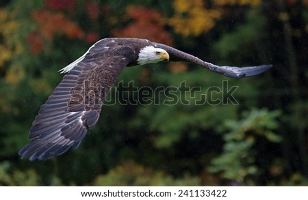 A Bald Eagle (haliaeetus leucocephalus) gliding through the air.  - stock photo