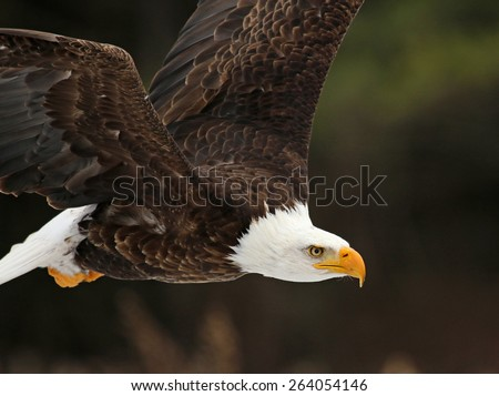 A Bald Eagle (Haliaeetus leucocephalus) in flight.  - stock photo