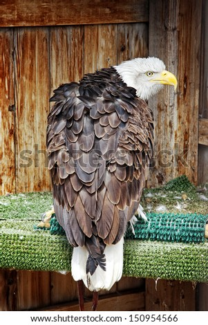 A Bald Eagle (Haliaeetus leucocephalus) in its living space (or Mews) shows a territorial posture during breeding season.  This eagle is a rescued bird of prey that cannot survive back in the wild. - stock photo