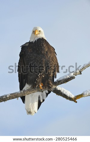 A bald eagle (Haliaeetus leucocephalus) is perched on a dead tree limb overlooking the Chilkat River watching for salmon in the Chilkat Bald Eagle Preserve in Southeast Alaska. Winter. Morning.  - stock photo