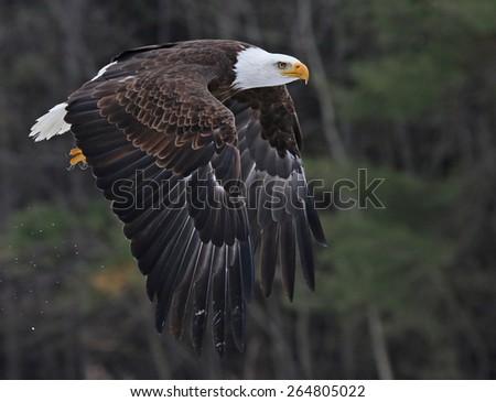 A Bald Eagle (Haliaeetus leucocephalus) taking off.  - stock photo