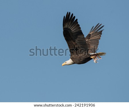 A bald eagle in flight in blue sky in central Illinois during winter - stock photo