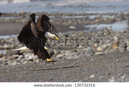 A bald eagle lands on the beach in Anchor Point, Alaska.