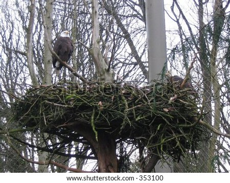 A bald eagle overlooks her nest at the Woodland Park Zoo. - stock photo