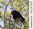 A Bald Eagle perched on a limb on a budding tree. - stock photo