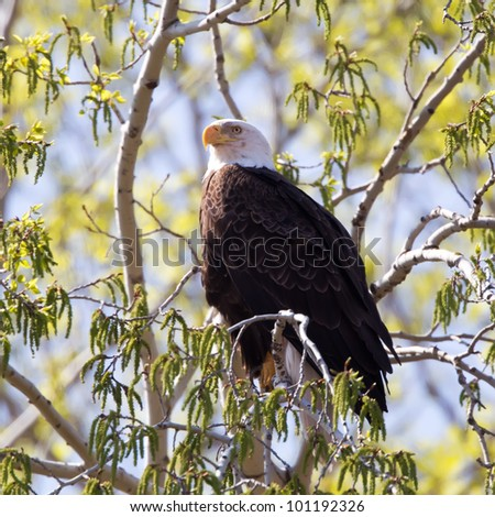 A Bald Eagle perched on a limb on a budding tree.