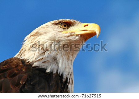 A bald eagle portrait .Symbol of the United States of America.
