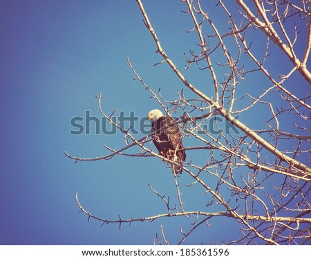 a bald eagle sitting on a branch hunting for food on a sunny day - stock photo