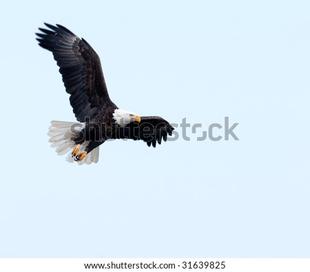 A bald eagle soars through a blue sky on a winter day along the Mississippi River - stock photo