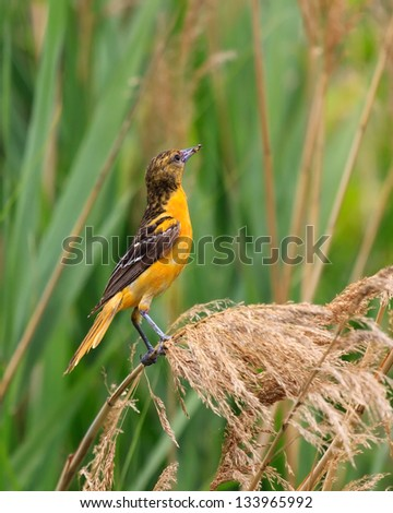 A baltimore oriole clutches an insect in its beak while hanging onto a blade of flowering swamp grass. - stock photo