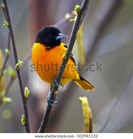 A Baltimore Oriole perched on a budding tree limb.