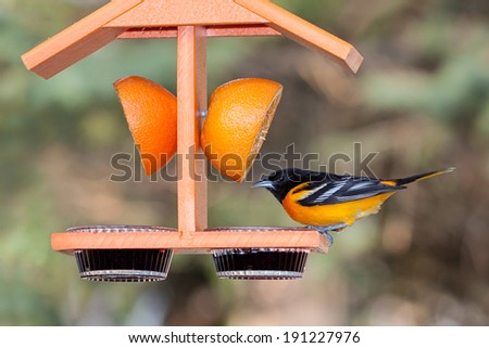 A baltimore oriole sits atop an orange colored feeder. Dinner options include, a juicy orange and sweet grape jelly. Background of shallow focus green tree leaves and tan hues of the tree branches. - stock photo