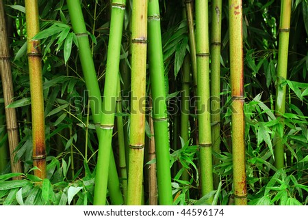 A bamboo forest after the rain. - stock photo
