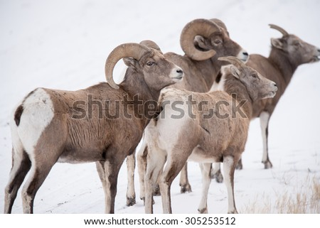 A band of big horn sheep with two rams and two ewes; looking up toward more big horn sheep; looking the same way - stock photo