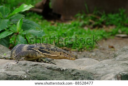 A banded monitor lizard , Varanus salvator in zoo
