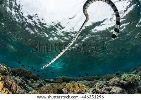 A Banded sea krait (Laticauda colubrina) swims over a shallow reef in Wakatobi National Park, Indonesia. This reptile is extremely venomous but is not aggressive towards humans. - stock photo