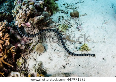 A Banded sea krait (Laticauda colubrina) swims over the bottom of a shallow reef in Wakatobi National Park, Indonesia. This beautiful area harbors an extraordinary amount of marine biodiversity. - stock photo