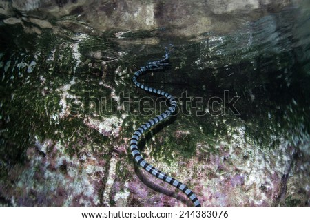 A Banded sea snake (Laticauda colubrina) swims to the surface to breathe near an island in Indonesia. This reptile is one of the most venomous creatures on Earth. - stock photo