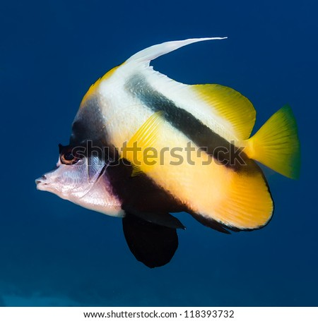 A Bannerfish in blue water on a coral reef