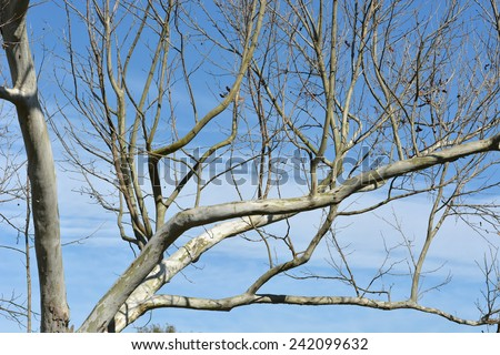 A bare Silver Maple Tree in winter without leaves against a blue sky with white clouds. - stock photo