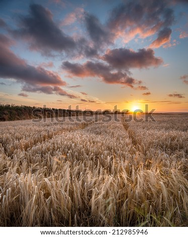 A barley field at sunset near Padstow in Cornwall - stock photo