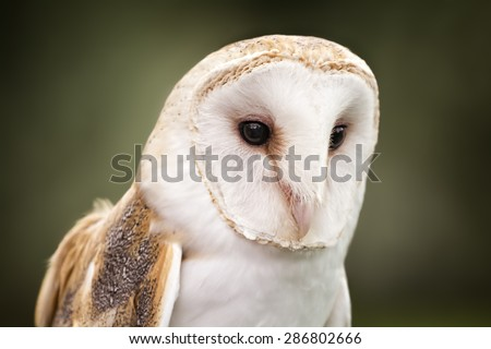 A Barn Owl  Barn Owls are silent predators of the night world. Lanky, with a whitish face, chest, and belly, and buffy upperparts, this owl roosts in hidden, quiet places during the day. - stock photo