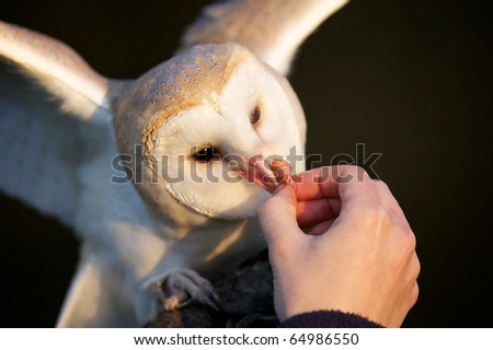 A barn owl being hand fed - stock photo