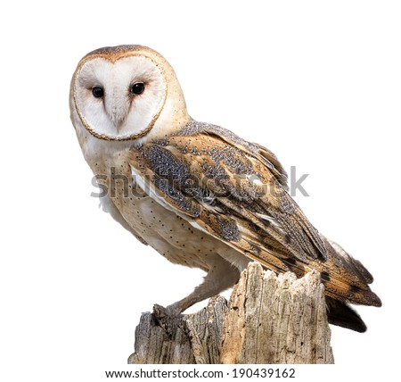 A barn owl isolated on a white background. Perched on a dead tree stump. Barn Owls are silent predators of the night world.  - stock photo