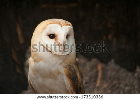 A barn owl looking to the right as a noise startles. This barn owl is in captivity and is a beautiful example of the avian group of birds. - stock photo