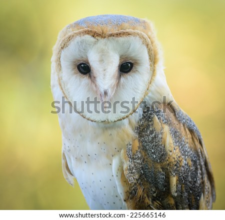 A barn owl on a yellow natural backdrop - stock photo