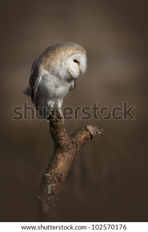 A Barn Owl perched on a dead tree branch in open ground and scanning the undergrowth beneath it for movement or the sound of a potential meal on the move.