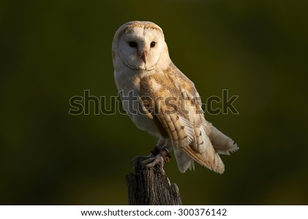 A Barn Owl sitting on a sits on a post 