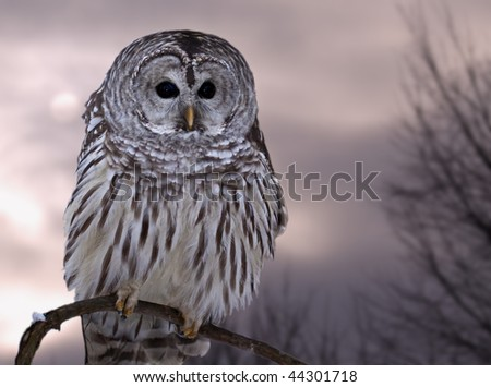 A barred owl against the winter sky - stock photo