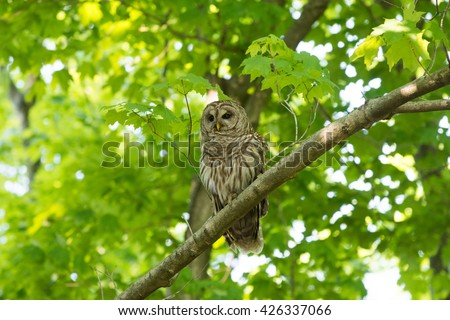 A barred owl perched in a tree in a wooded area in the midwest United States during spring - stock photo