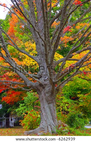 A barren tree shedding its leaves during fall season - stock photo