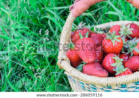A basket of fresh organic strawberries with green grass background. These strawberries are handpicked from an organic farm in Puyallup, Washington State, US. Panoramic style. Copy space. - stock photo