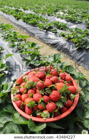 A basket of fresh red strawberry in the field.