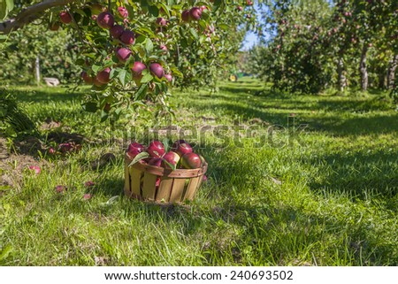 A basket of freshly picked apples in the orchard. - stock photo