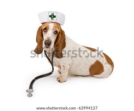 A Basset Hound dog wearing a nurse hat that has a modified first aid symbol that says Vet on it and a stethoscope. Isolated on white. - stock photo