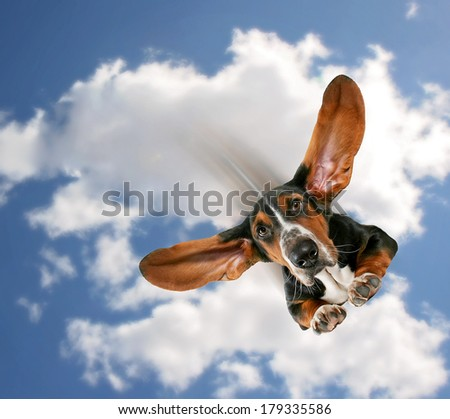 a basset hound flying through the air with his ears like a superhero - stock photo