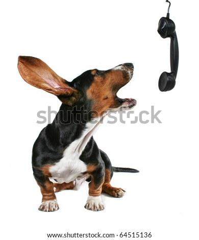 a basset hound howling on the phone - stock photo