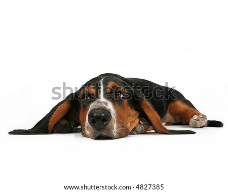 a basset hound lying down on a white background - stock photo