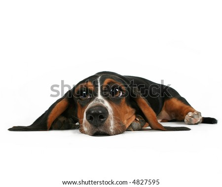 a basset hound lying down on white background - stock photo