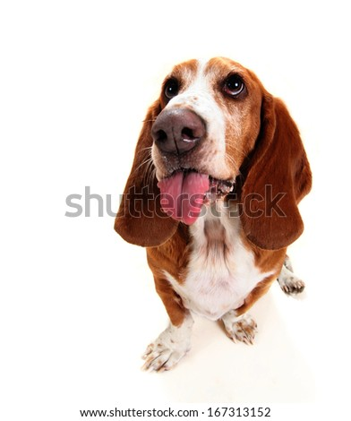 a basset hound on a white background