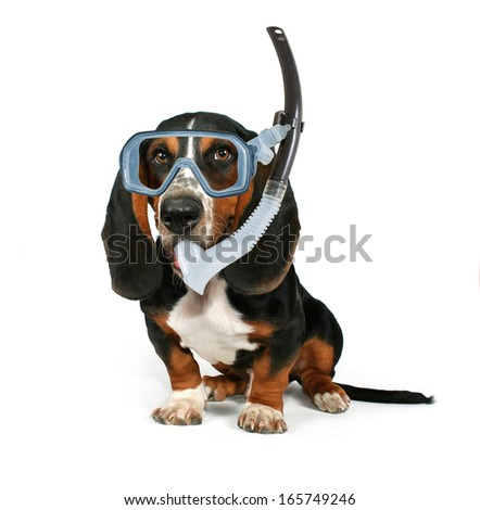 a basset hound sitting down on a white background with a mask on - stock photo